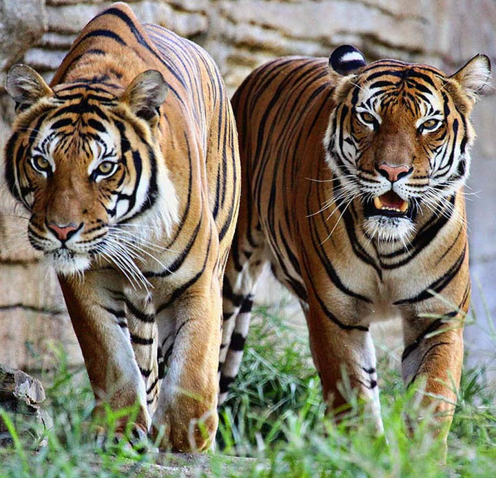 Виды тигров картинки