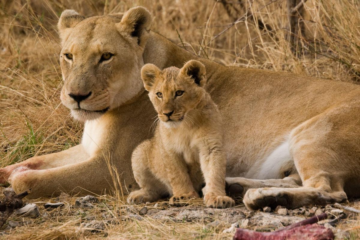 львица львенок на траве