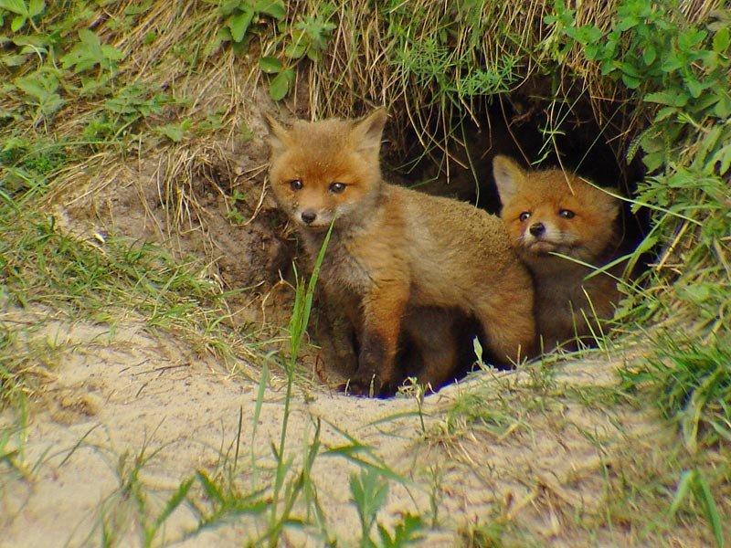 Днем рождения, картинки с изображением лисы около норы