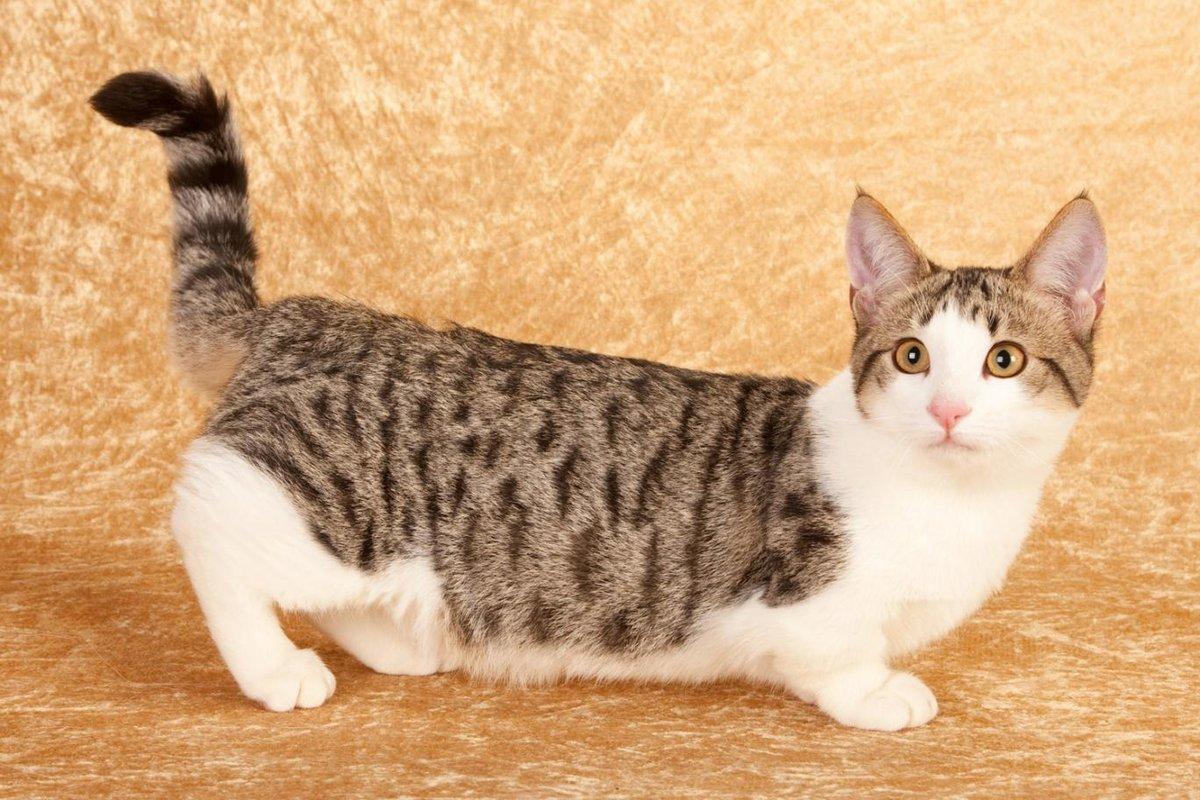 голиаф предпочитает коты на коротких лапках порода фото гигант