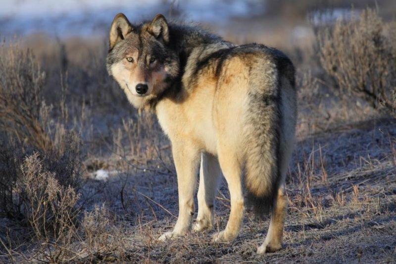 картинки уходящего волка будет нормально