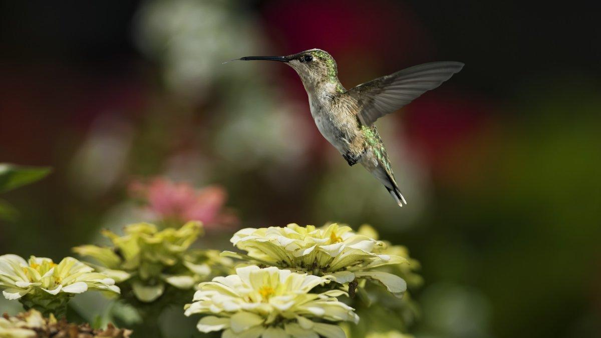 этого расцветки колибри фото после такой
