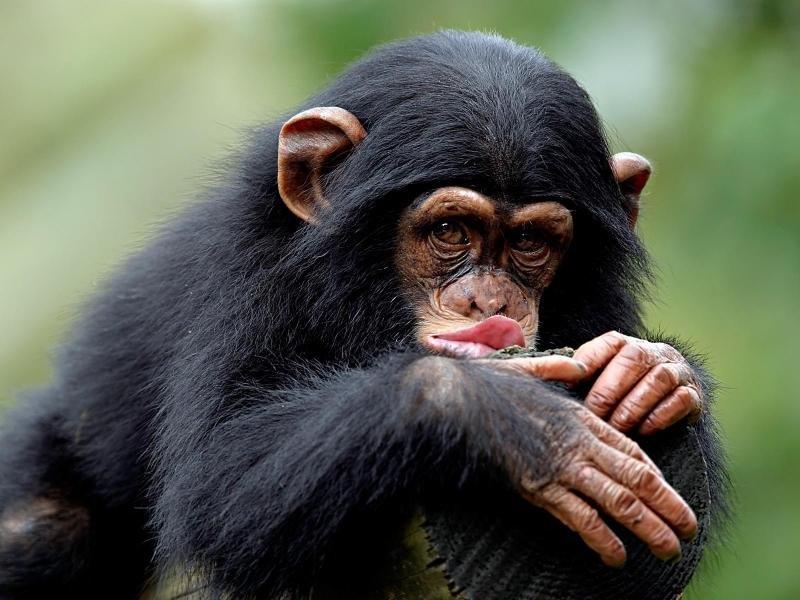 Картинки шимпанзе прикольные, новым годом поздравления