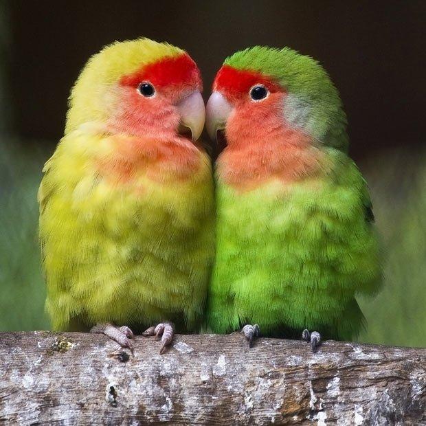 Попугаи неразлучники по виду очень красивые, оперение очень яркое с преобладанием зеленого цвета. Участки тела, такие как: голова, шея, грудь, часто окрашены в другие цвета, в зависимости от вида. Часто это бывают синие, красные, зеленые  и желтые цвета.