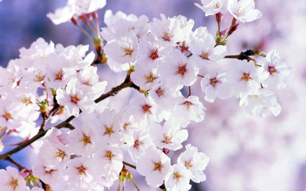 Февраля открытки, картинки цветущая вишня для телефона