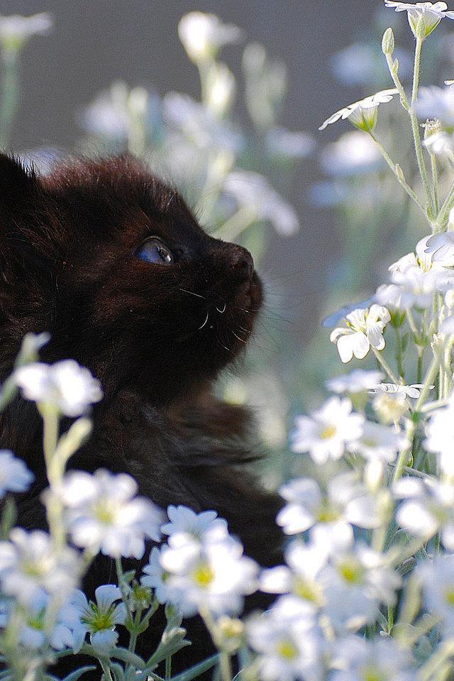Черный котенок среди ромашек.