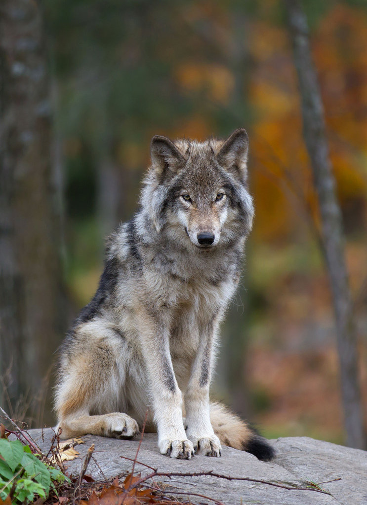 Волк одиночка