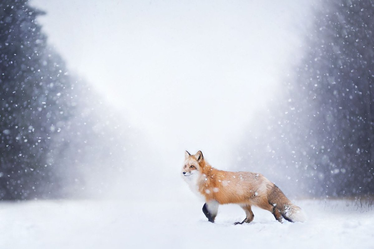 Лиса Ñодит зимой по снегу