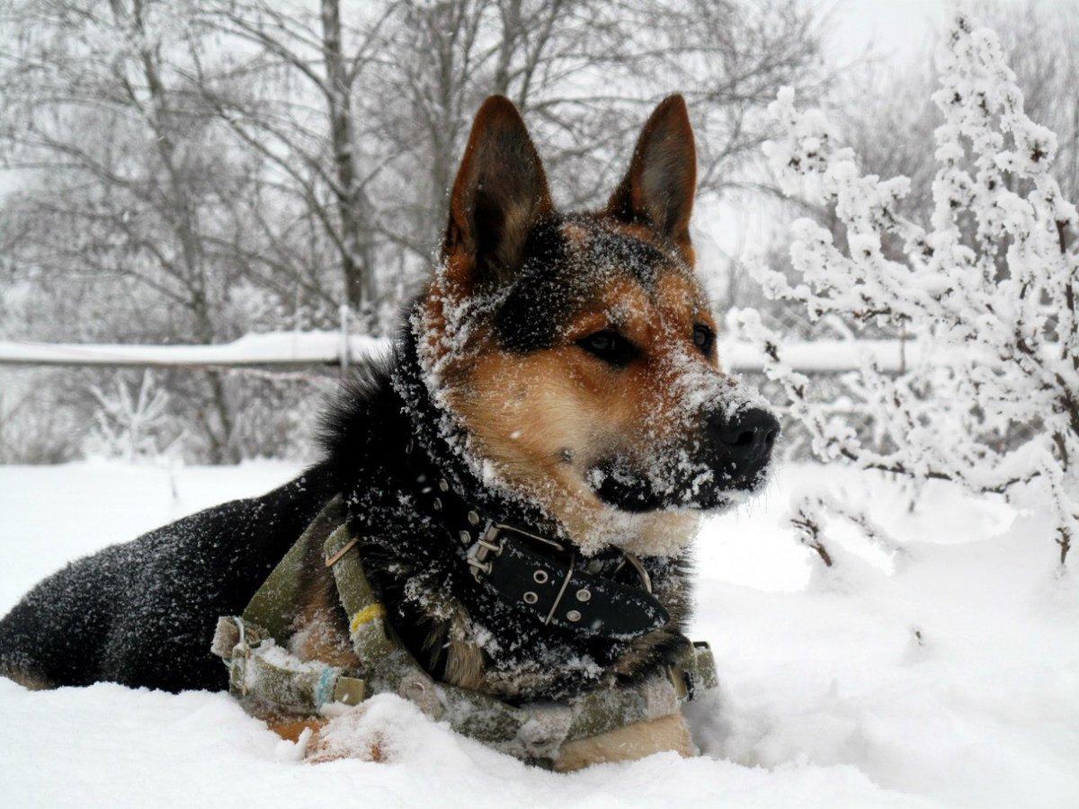 всякая курортная гифка овчарка и снег бежевый хаки
