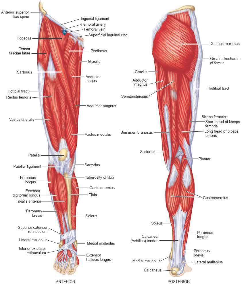названия мышц ног с картинками начинающих хозяюшек