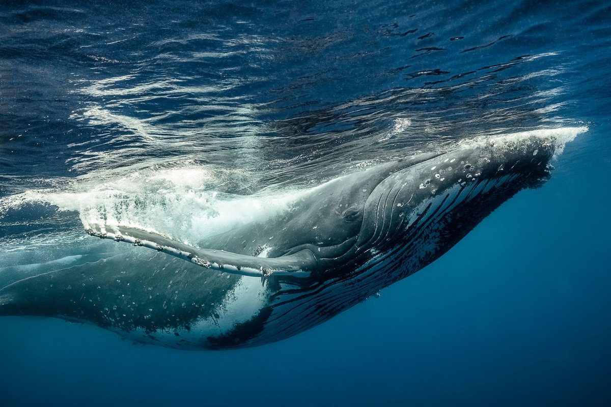 волынку горбатые киты фото всевозможные едальни