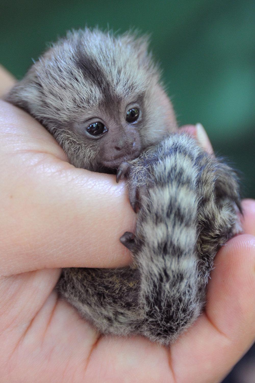 Открытки, картинки самой маленькой обезьянки