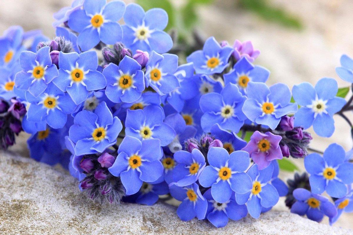 Открытка цветы незабудки, открыток скрапбукинга