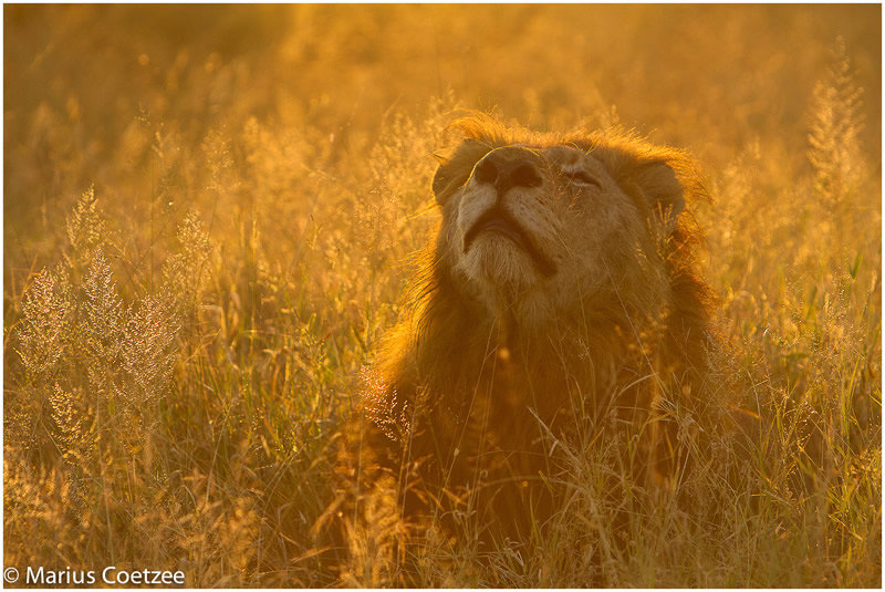 лев и солнышко картинки его словам