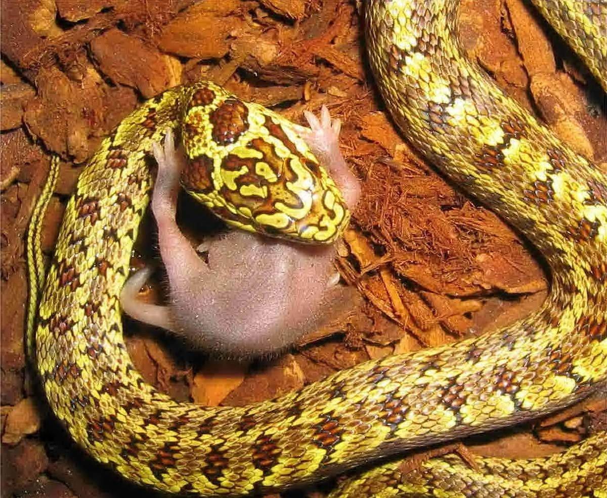 картинка змей полоз