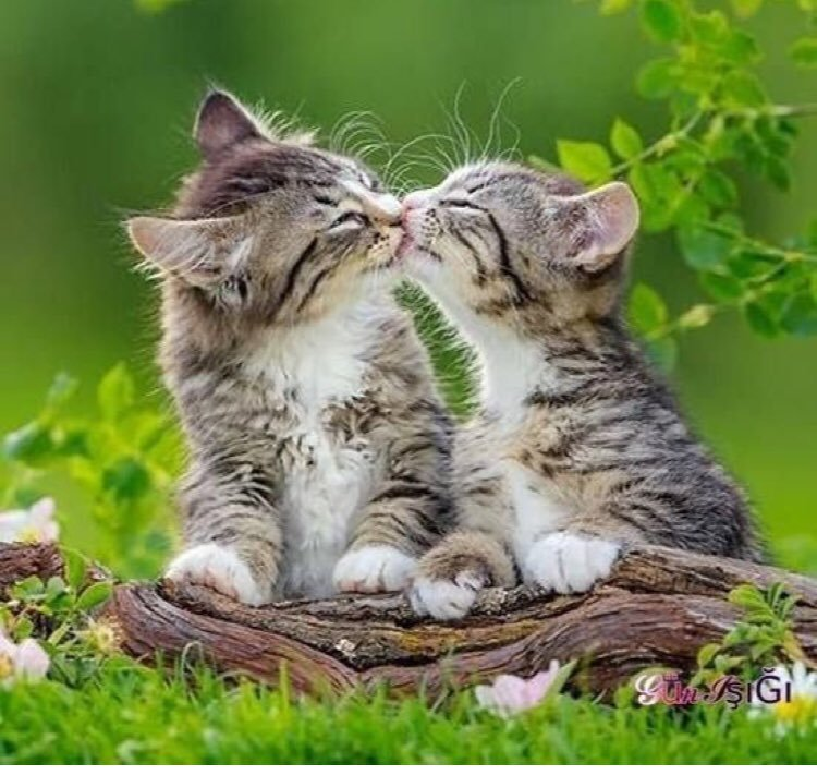 Картинка с целующимися кошками