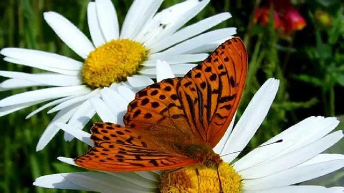 Мой, картинки бабочки на ромашке