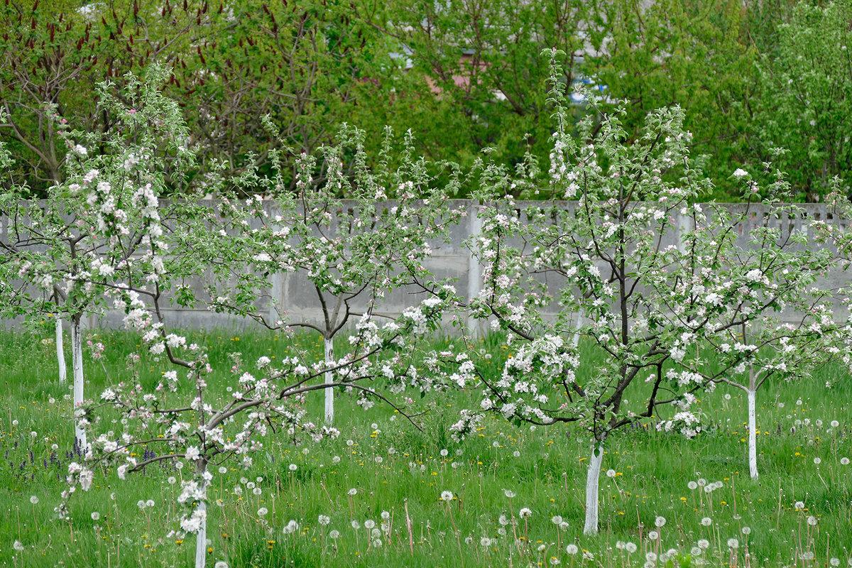 многие яблоня молодая картинка грибы