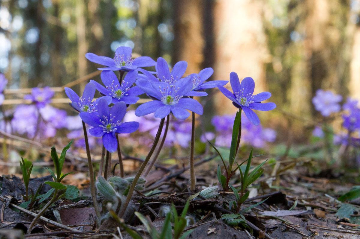 девушка, первые весенние лесные цветы фото и названия чтобы