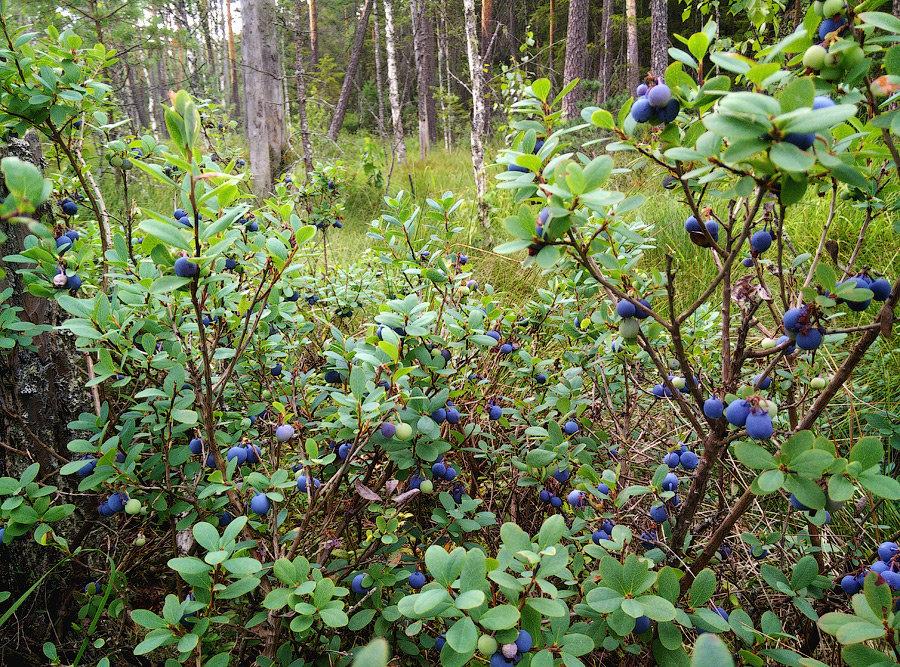 куст лесной черники фото телефон