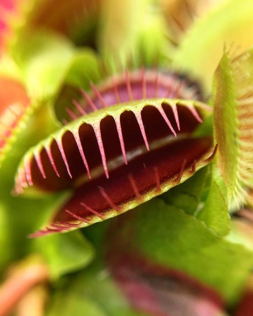 Цветок мухоловка картинки