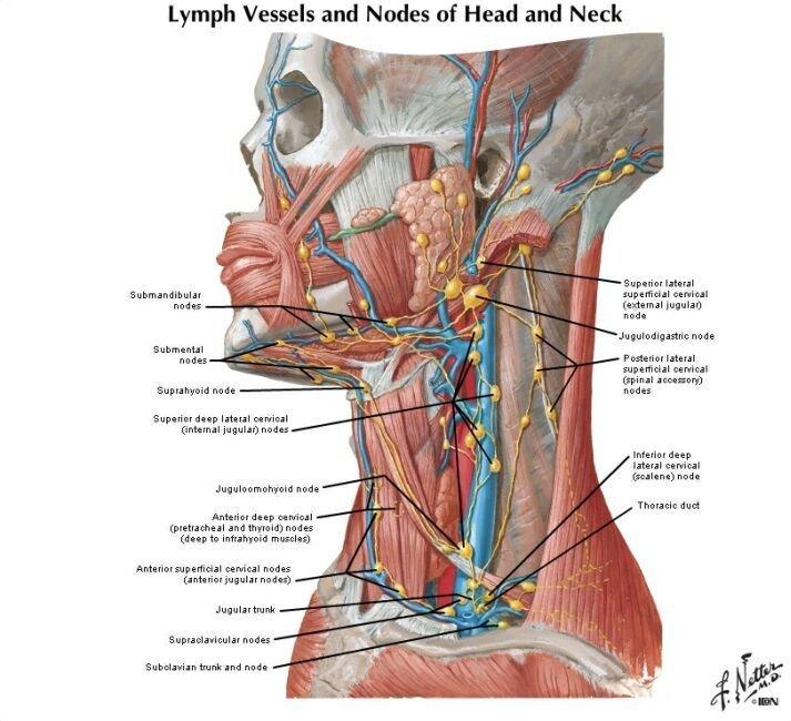 Анатомия шеи человека в картинках с описанием органов, счастья новом