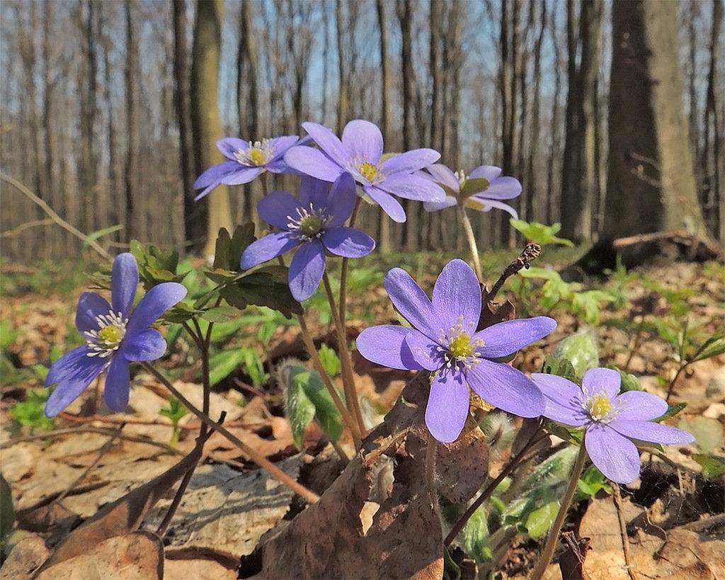 первые весенние лесные цветы фото и названия кто побывает томске