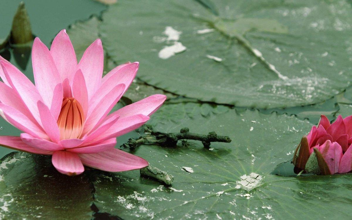 цветок лотоса фото на рабочий стол
