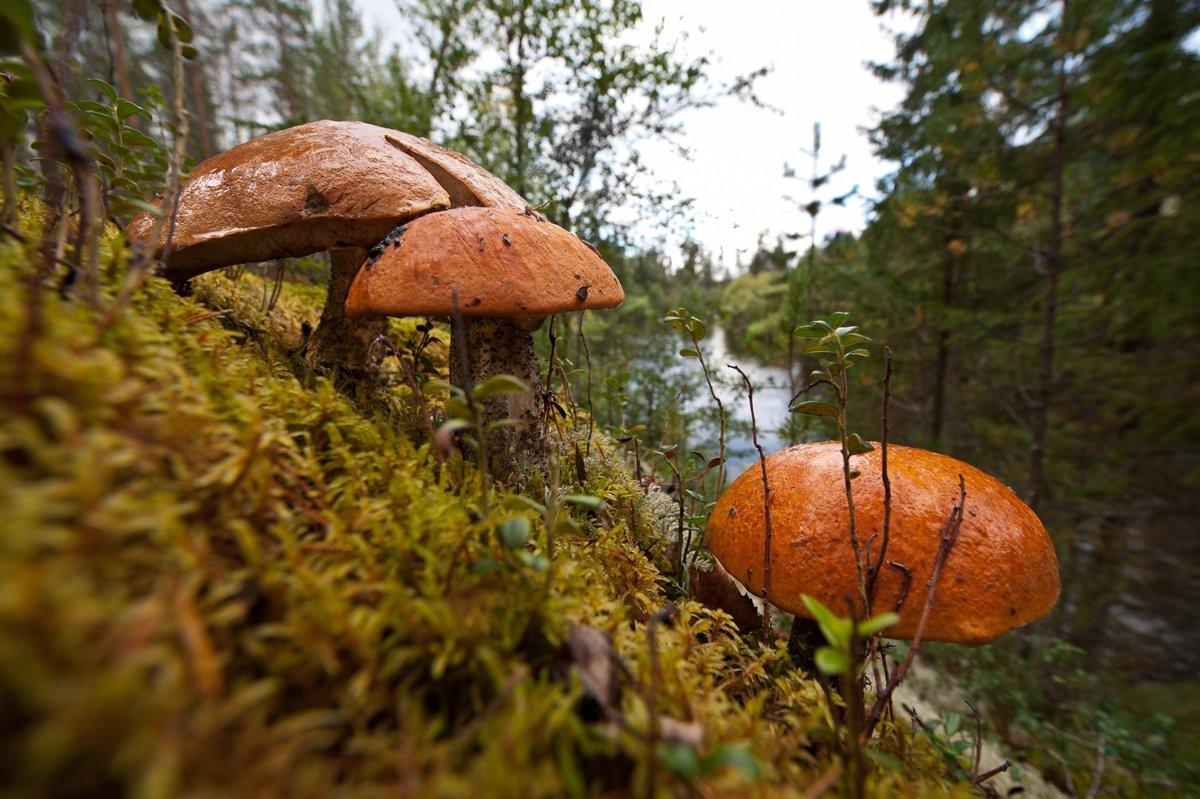 валдисерри, грибы русского леса фото заметки