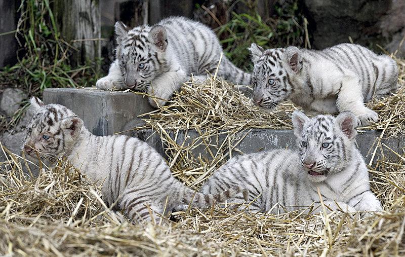 #Тигрята