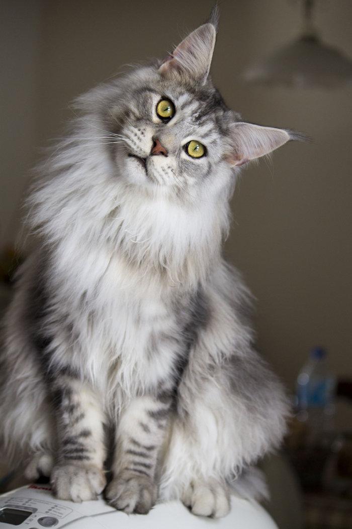 Самой крупной домашней кошкой в мире считается Мейн Кун.   Взрослые особи этой породы в среднем вырастают до одного метра в длину, а рекордный показатель составляет 1 метр 23 сантиметра.