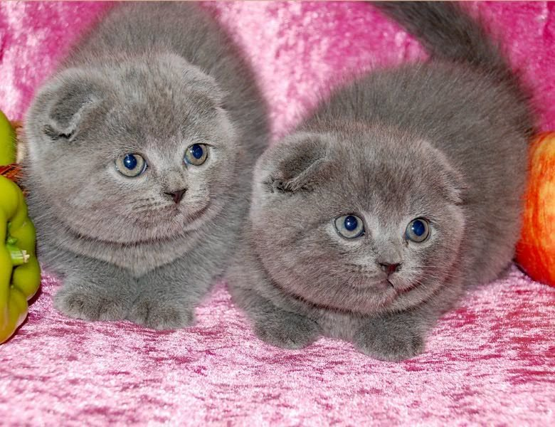 Вислоухий котята картинки