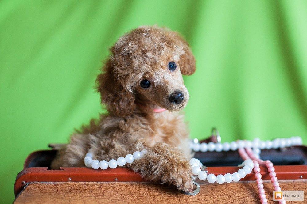 Картинка щенка пуделя