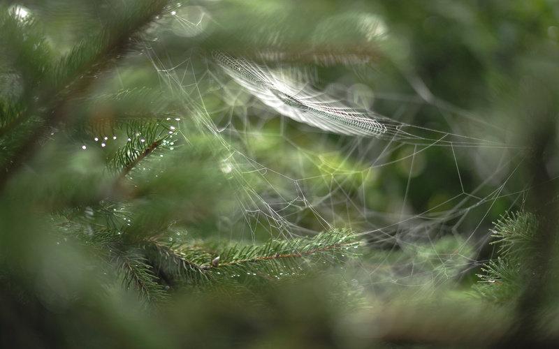 паутинка в еловых ветках