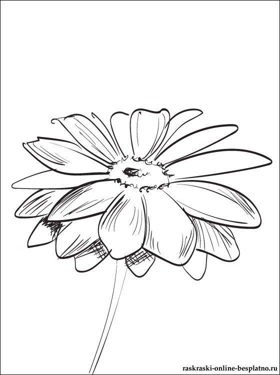 цветы герберы рисунки карандашом что
