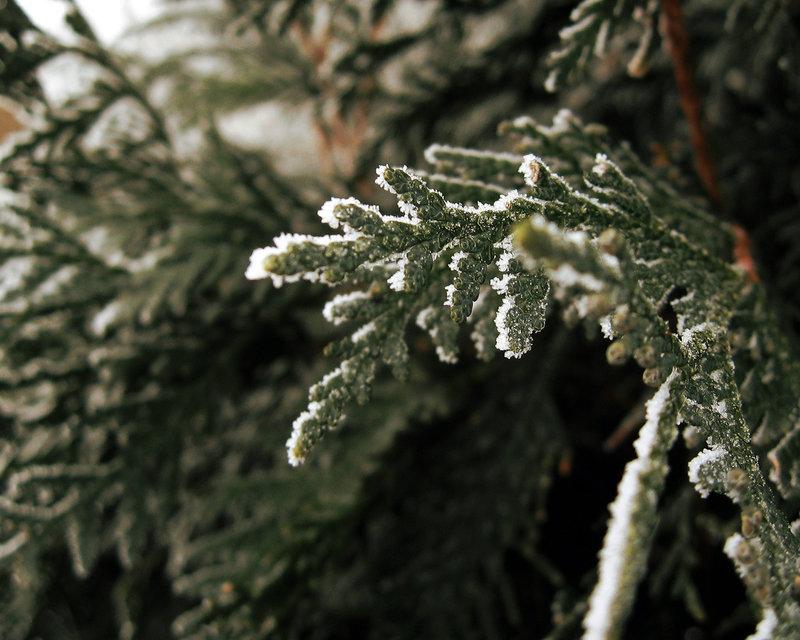 зимняя пихта