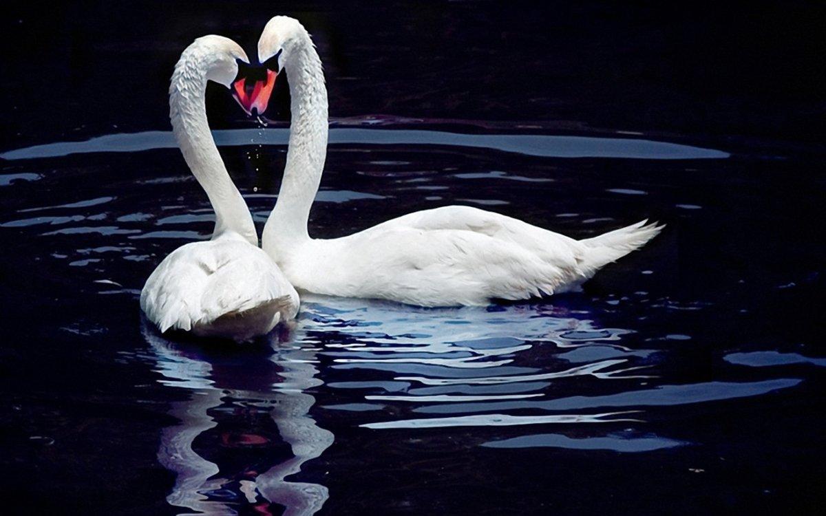 Красивые картинки лебеди с надписями, открытка своими
