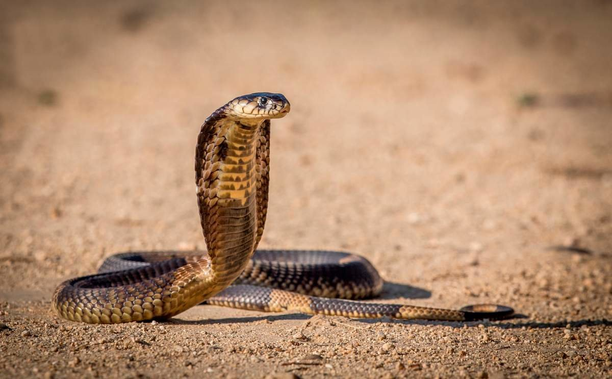 Королевская кобра видео КАЧЕСТВО