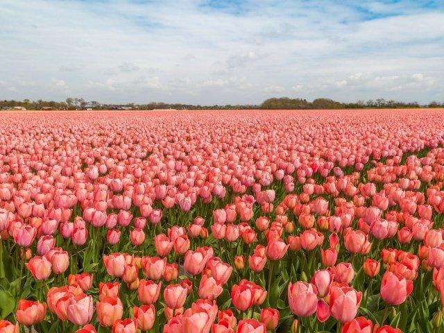 Поле красивых розовых тюльпанов под голубым небом