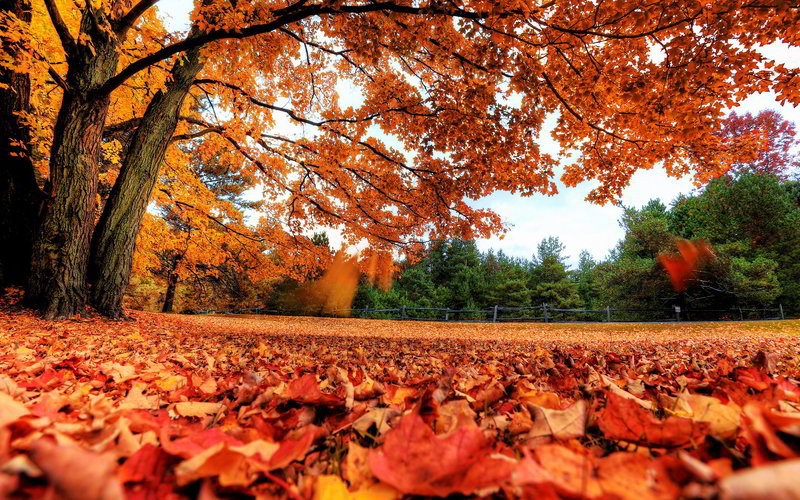 осенний кленовый листопад