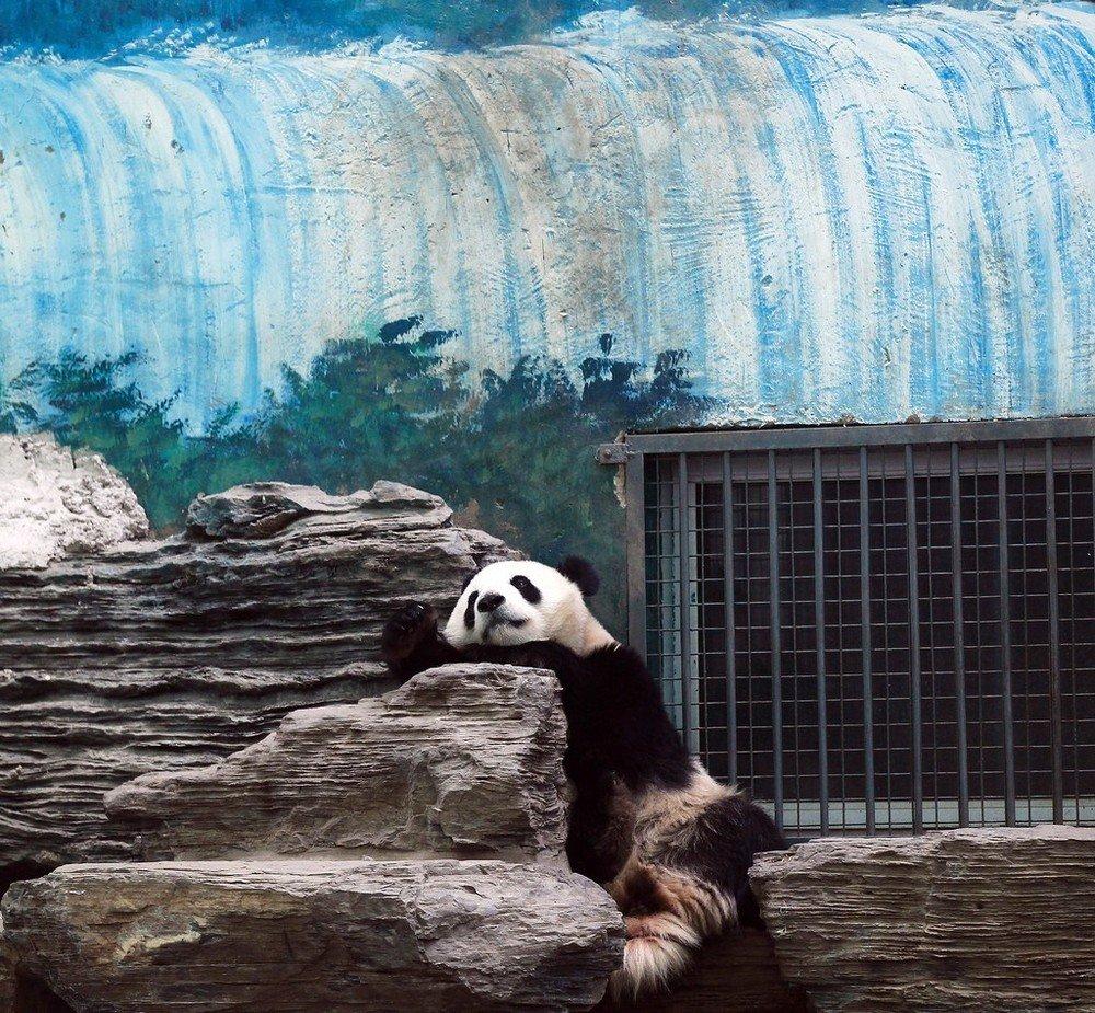 Просто панда