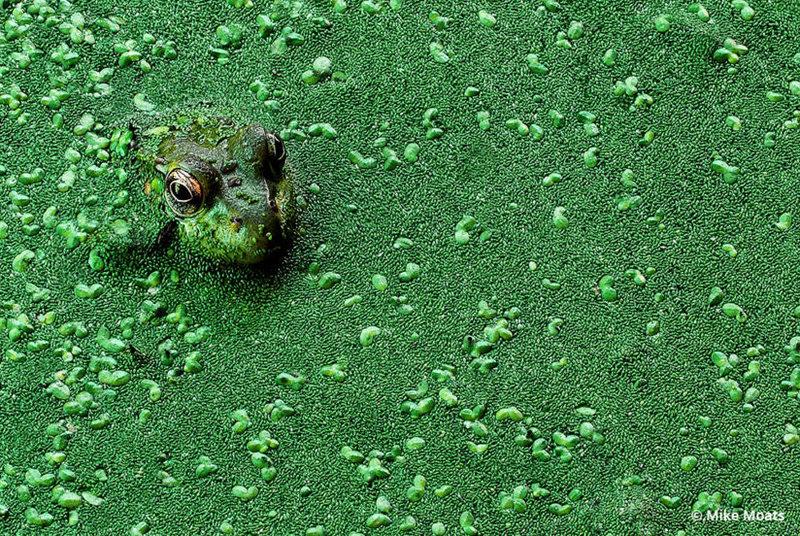 лесной пруд зарос ряской, в которой нашлась вот такая царевна