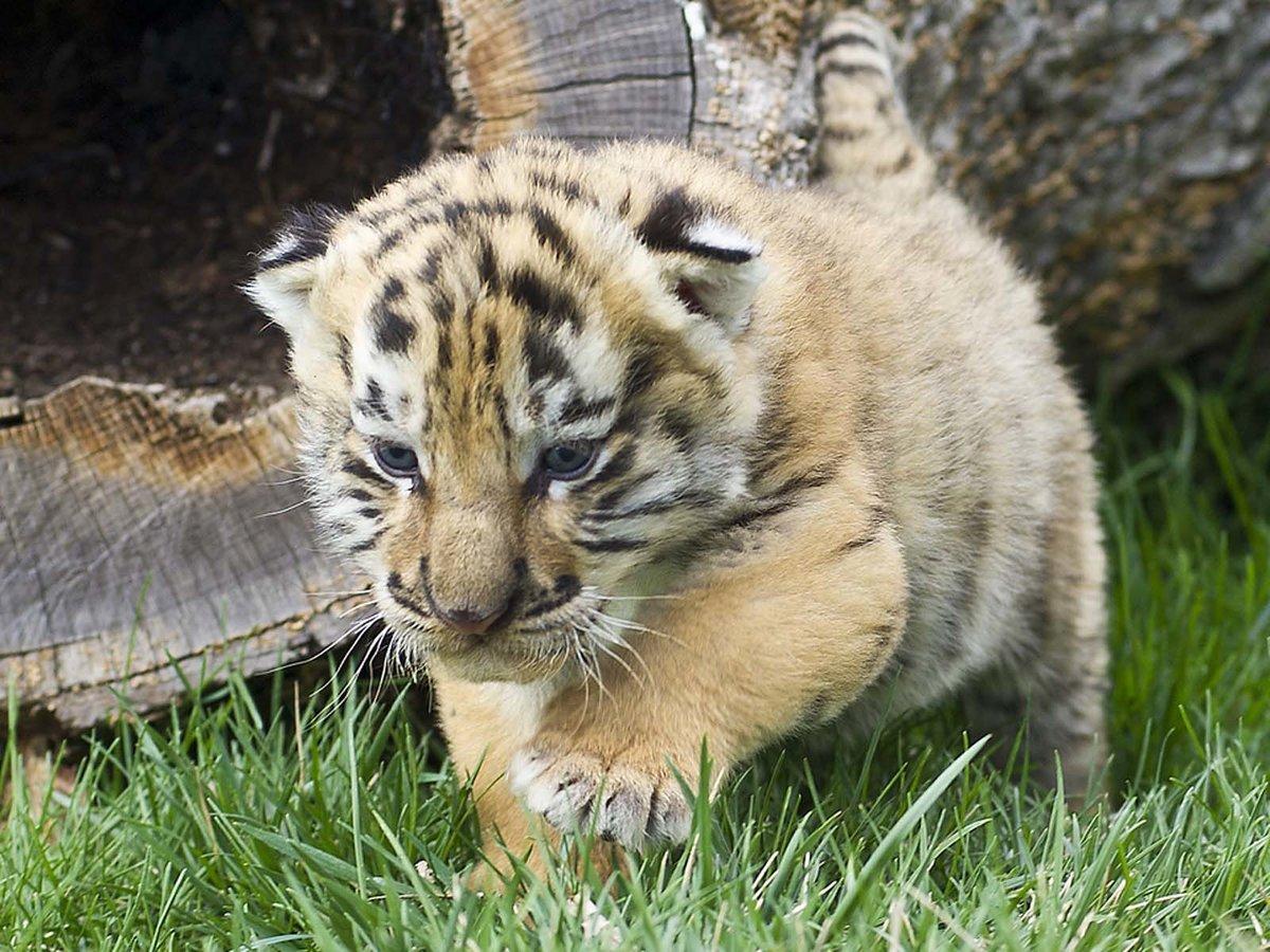 признается, картинки маленькой тигрицы откровенно