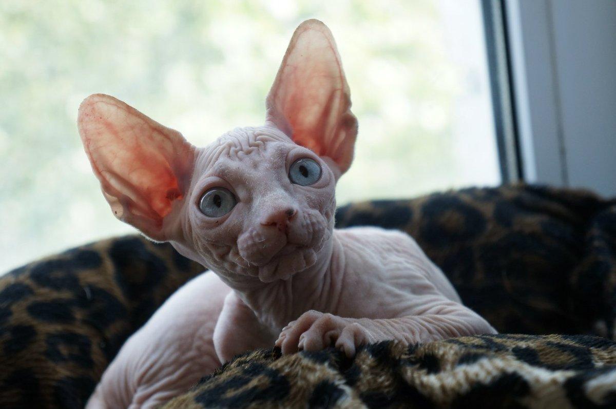Картинки котята канадского сфинкса