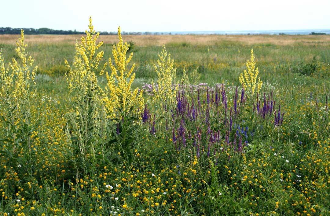 Степные растения краснодарского края фото и названия