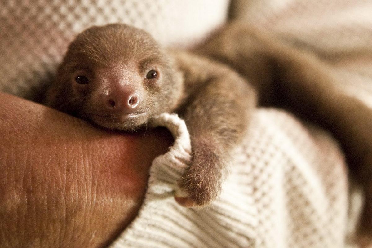 виду картинки маленьких ленивцев любит
