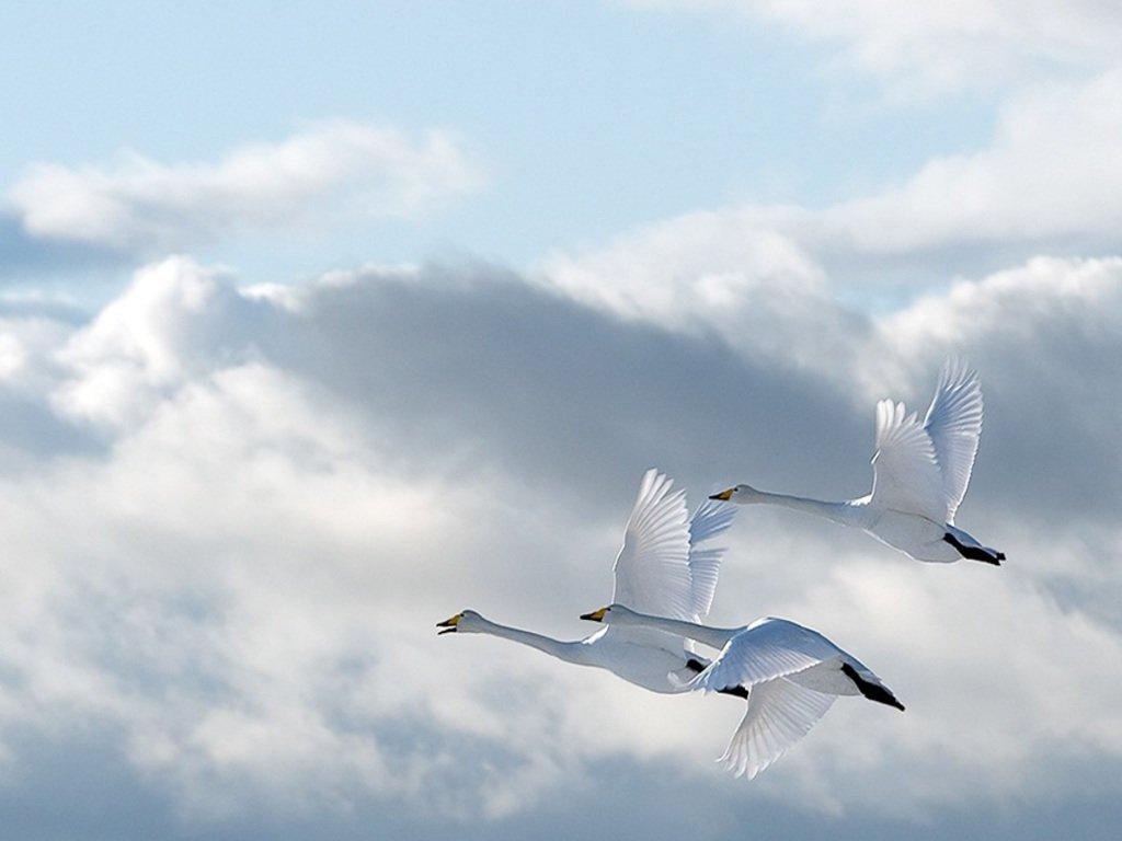 Анимация лебеди летят