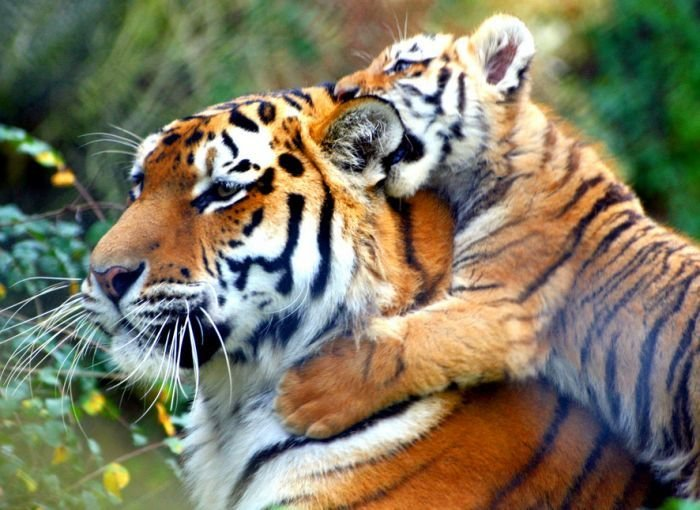 На сегодняшний день на Земле живёт шесть видов тигров: амурский, южно-китайский, индокитайский, малайский, суматранский и бенгальский тигр.