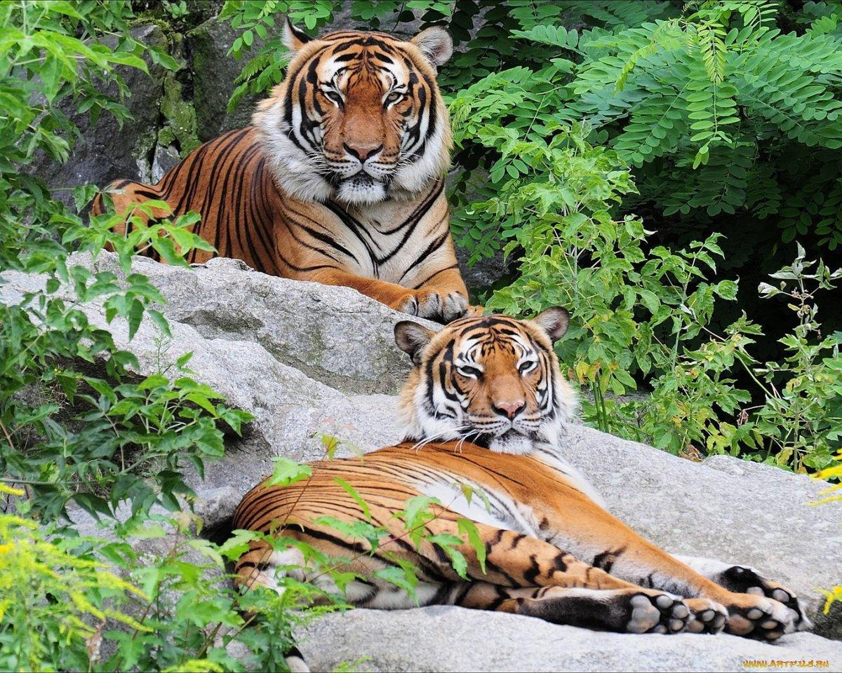 Картинки на рабочий стол тигры и львы на весь экран