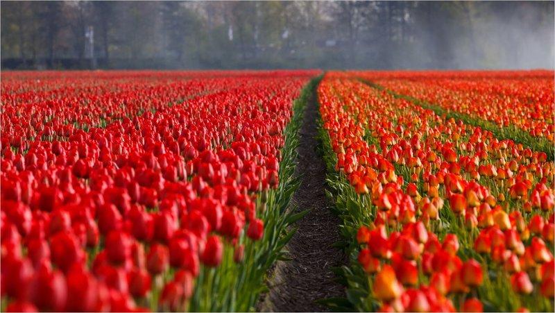Красивое поле красных тюльпанов.
